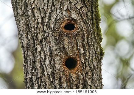 Woodpecker Nests In An Oak