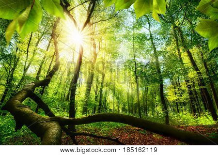 Green beech forest with bright beautiful sun beams framed by foreground foliage and a fallen tree trunk