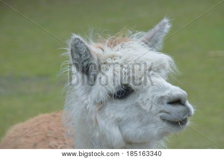 Llama (Lama glama). Domestic animal at the farm.