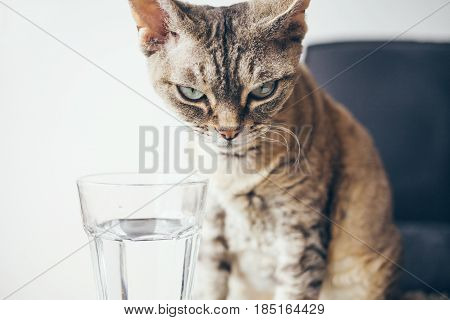 Close-up of a Devon Rex tabby color cat drinks water from a glass. Cat large, gray. Cat lapping water. The water is clean, clear
