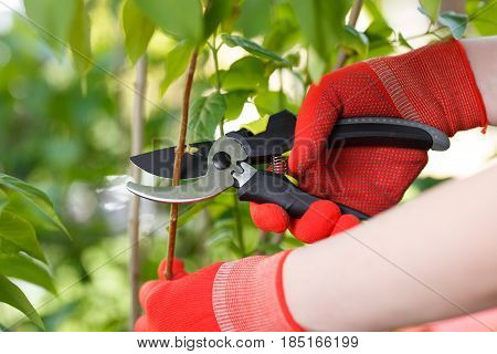 Girl cuts or trims the bush with secateur in the garden