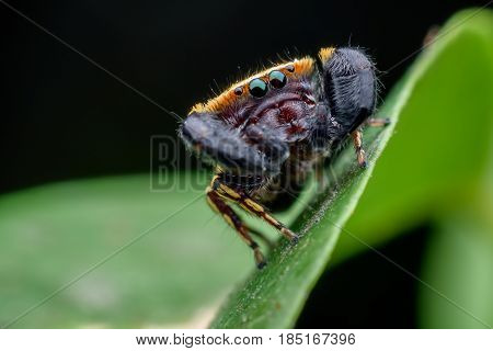 The Wasp-mimic jumping spider or Rhene flavicomans on green leaf