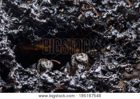 Trigona terminata melipona apicalis or Stingless bees in the nest hollow trunk