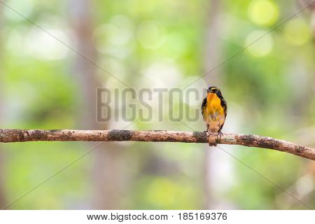 Bird (narcissus Flycatcher) On A Tree