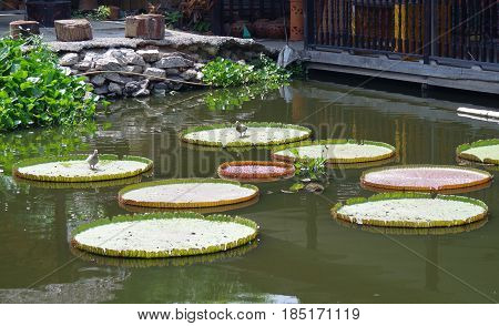 Pigeons walk on giant lily pads floating in a pond.