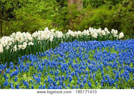 Different color flowers in Keukenhof park in Amsterdam area, Netherlands. Spring blossom in Keukenhof