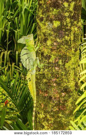 A close up of an Emerald Basilisk in Costa Rica