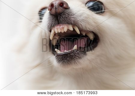 Irated white pomeranian close up