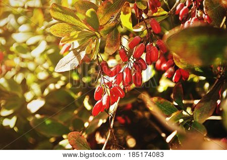 Bright autumn red barberry berries - in Latin Berberis- on the autumn tree under the sunlight - focus at the central berries. Autumn nature in sunlight.Closeup of autumn barberry tree. Autumn background with autumn barberry berries.
