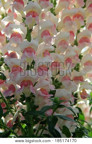 Vertical image of exotic orchids in the colors of white and pink, set in tropical garden
