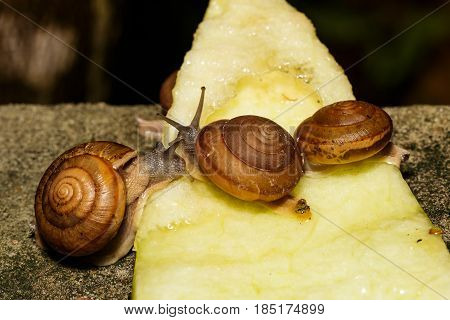 Snail Eating Fruit
