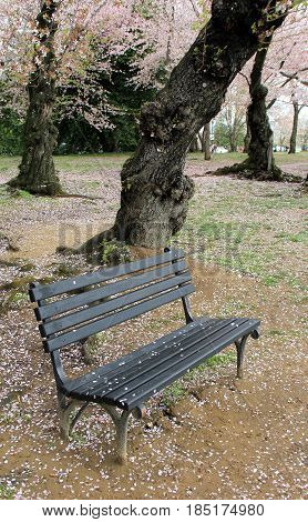 Vertical image of old wood bench with carved names from visitors, set under cherry blossom trees with petals fallen over surrounding ground.