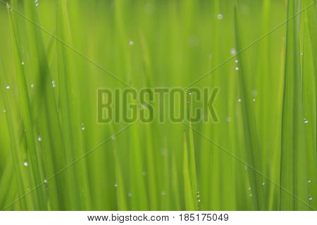 Fresh close-up rain water drops or dew drops on green rice leaf with morning light in rice field.