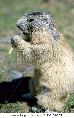 Marmot standing and eating a piece of bread in Savoy France
