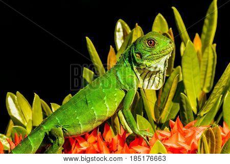 A close up of a juvenile Green Iguana in Costa Rica