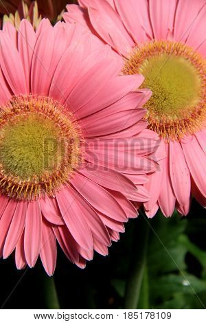 Vertical image of two large pink flowers with beautiful detail in petals and yellow center.