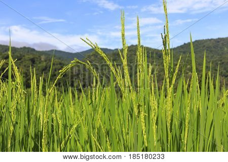 Green rice field with seed panicles in close-up with blue sky background.