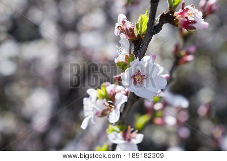 Flowering ovary of sweet cherries in the spring
