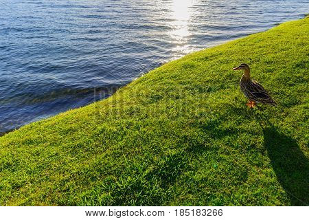The Pacific black duck or grey duck at Lake Taupo North Island of New Zealand