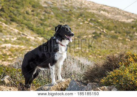 Border Collie dog standing on a rock with the maquis in the mountains of Corsica in the background and yellow flowers in the foreground