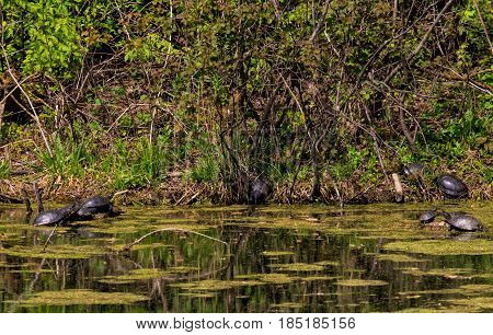 Turtles in the swamp to bask in the sun.