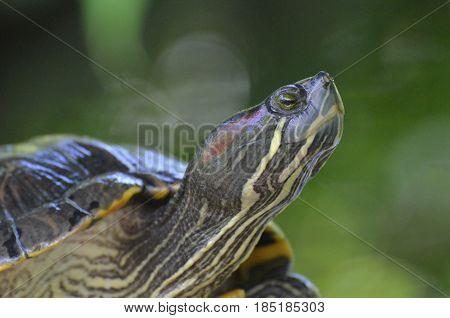 Resting painted turtle up close and personal.