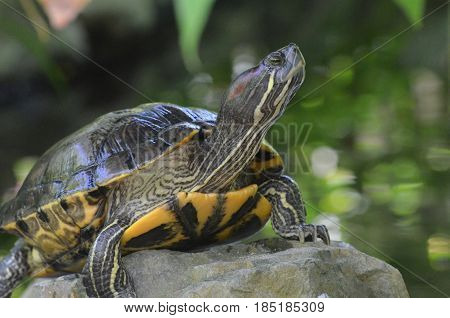 Great look of a painted turtle balancing on a rock in the wild.