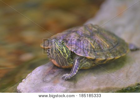 Striped turtle sitting perched on a rock.
