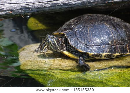 Painted turtle sitting on a rock in shallow water.