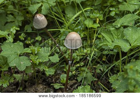 View of glade, grass and two inedible little mushroom or Galerina pumila in Rila mountain,   Bulgaria