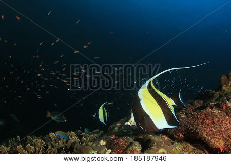 Moorish Idol fish. Tropical fish underwater