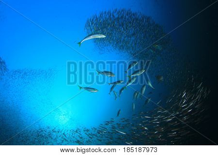 Tuna fish hunting sardines underwater
