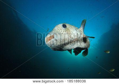 Porcupinefish puffer fish