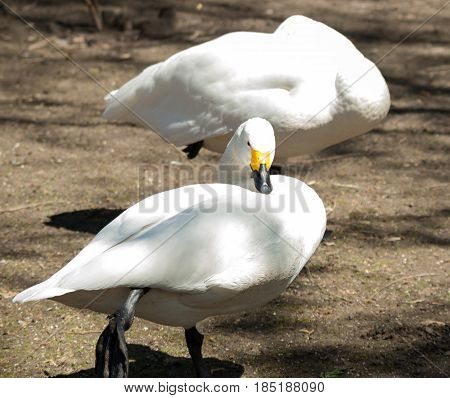 White ducks. Poultry. Clean the feathers. Background ground.