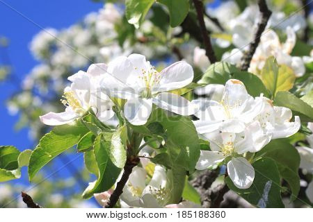 Beautiful white apple blossoms and green apple tree leaves in apple garden in good sunny weather in spring