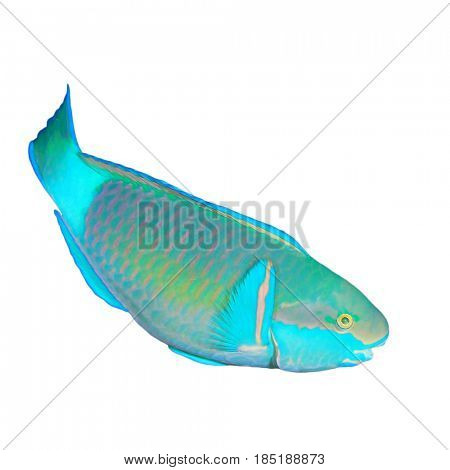 Bullethead Parrotfish isolated on white background