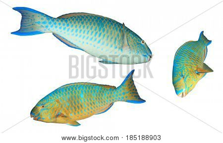 Blue-barred Parrotfish fish isolated on white background