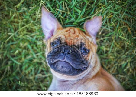 a cute chihuahua pug mix puppy (chug) looking at the camera while lying in the grass during a hot summer day