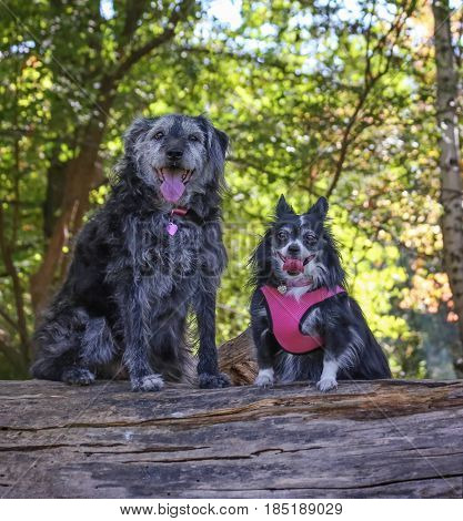a large mixed breed dog and a pomeranian with a pink harness on posing for the camera during a hot summer day with her tongue poking out