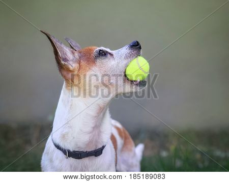 a cute rat terrier in a backyard playing fetch with a yellow tennis ball toy