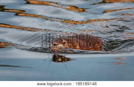 a muskrat swimming in water at a local wildlife refuge pond during sunset