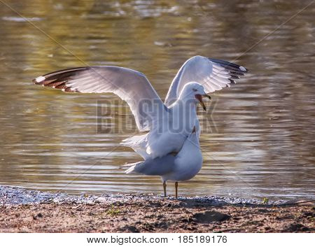 two seagulls mating on the shore next to the edge of water
