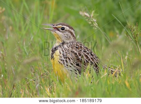 a western meadowlark in tall grass looking for bugs to eat