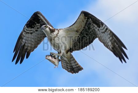 an osprey with a fish flying away from a local wildlife refuge park