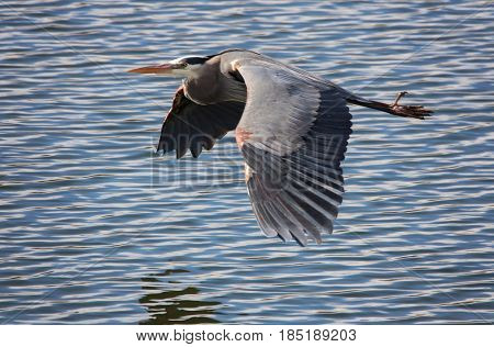a heron flying over water at a local park