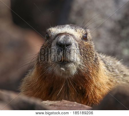 a cute marmot poking its head out from a burrow behind rocks