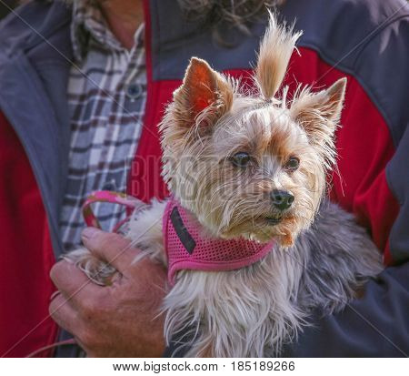 a cute yorkie dressed in a bow and pink harness enjoying the outdoors on a beautiful summer day