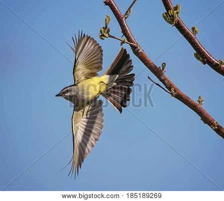 a western kingbird taking off from a tree branch on a warm sunny summer afternoon