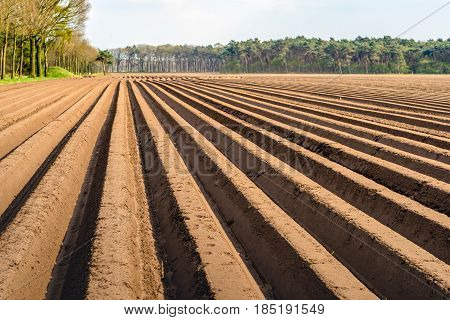 Potato ridges with recently seeded potatoes in a Dutch landscape in the spring season.