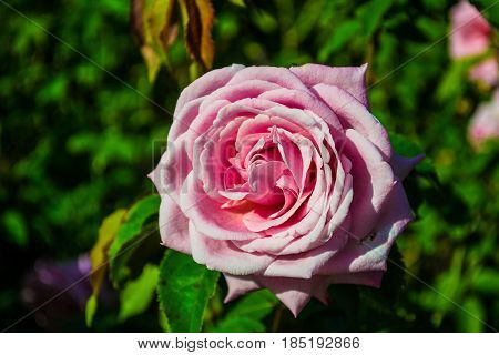 Close-up of a single pink rose in a garden.
